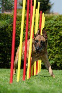 Dog sport agility