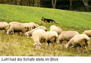 DDR Shepherd